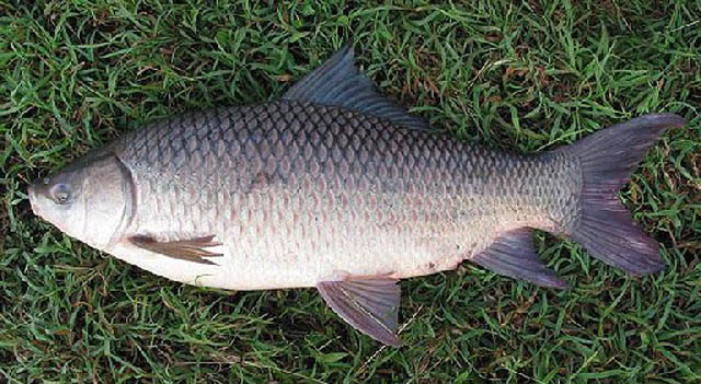 Marine fresh bangladesh frozen freshwater fish best for What saltwater fish are in season now